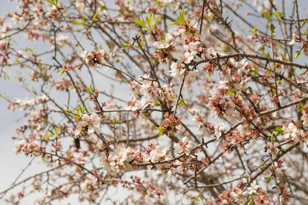 Almond tree blossom Фото со стока - 98053826