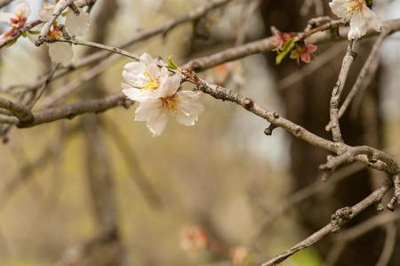 Almond tree blossom Фото со стока