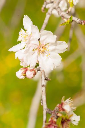 Almond tree blossom Фото со стока - 98319630