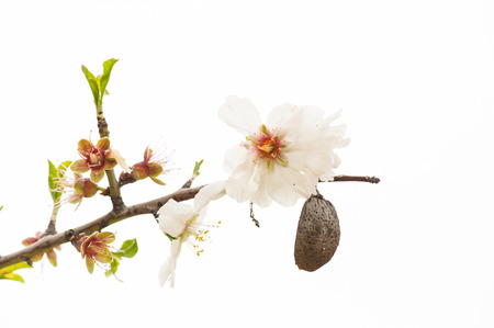Almond tree blossom and fruit, close-up (white background)