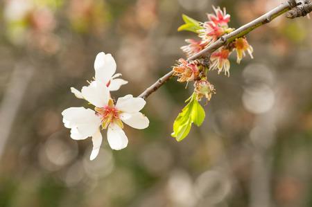Almond tree blossom Фото со стока - 98009017