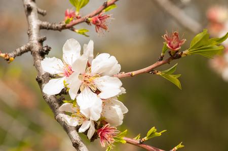 Almond tree blossom close-up Фото со стока