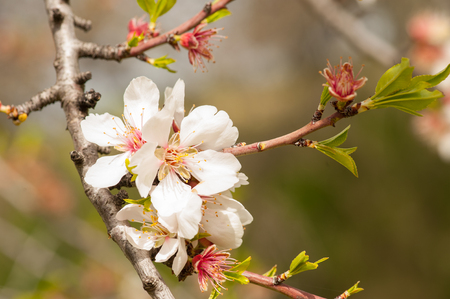 Almond tree blossom close-up 写真素材