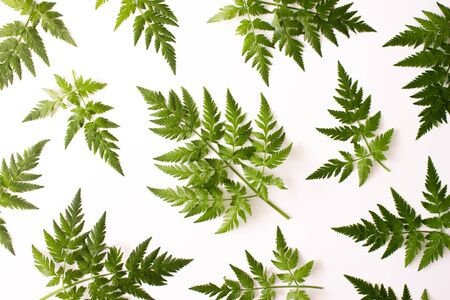 Pattern with fern green leaves isolated on white background top view. Floral nature flat lay. Foliage composition pattern. Ecology, organic background. Stock photo.
