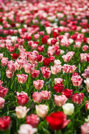 scorching: Field of spring tulips, flowers is a lot of bright, mature flowers, flower bed, bright flower scorching, buds of tulips, seasonal flowers, beautiful flowers close-up