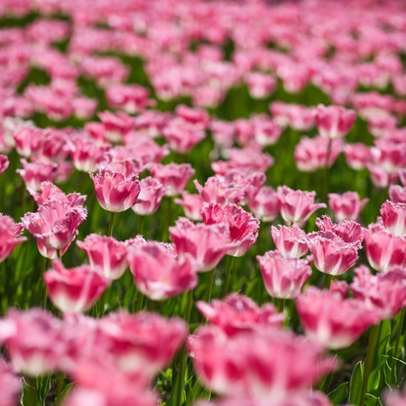 scorching: Field of spring tulips, flowers is a lot of bright, mature flowers, flower bed, bright flower scorching, buds of tulips, seasonal flowers, beautiful flowers close up, square image. Stock Photo