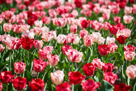 scorching: Field of spring tulips, flower bed, bright flower scorching, buds of tulips, seasonal flowers, beautiful flowers close-up