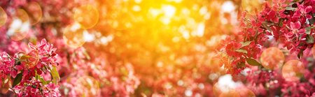 Spring blossom background, flowering trees, spring garden, fruit plants, abstract blurred background, sunny day, flowers close up, wildlife in natural form