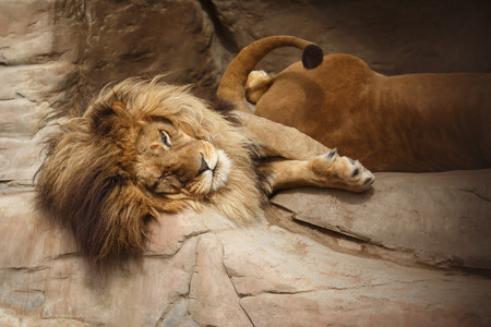 Lion with a big shaggy mane resting on the rocks photo