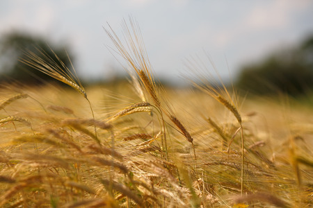 Golden ears of ripe wheat. Shallow depth of field. Focus on the center of the frame. photo