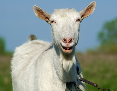 Portrait of a horned and bearded smiling goat. photo