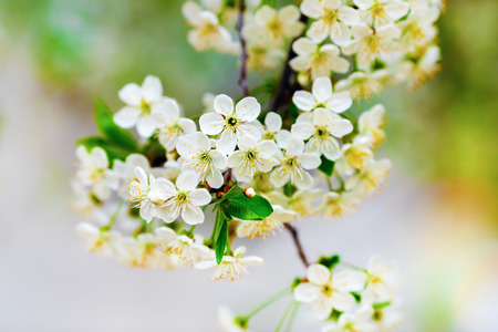 Flowers of the cherry blossoms on a warm sunny spring day on the bright blurred background. Blossoming tree. Shallow depth of field. Selective focus. photo