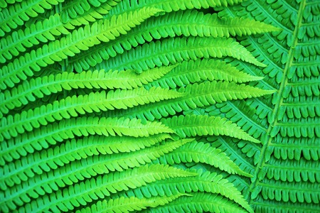 Bright green leaves of a fern as a background. photo