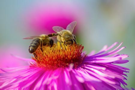 the bee: Dos abejas en una flor rosa aster. Poca profundidad de campo. Enfoque selectivo.