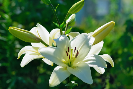 Beautiful white lily flowers on a background of green leaves outdoors. Shallow depth of field. Selective focus. 스톡 콘텐츠