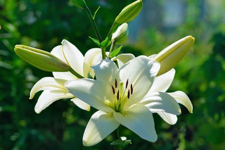 Piękne białe kwiaty lilii na tle zielonych liści na zewnątrz. Płytka głębia ostrości. Selektywne fokus. Zdjęcie Seryjne