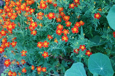 signet: Background of a flowering marigold with foliage. Signet marigold.