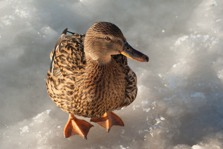Brown wild mallard duck standing on the ice and looking at the camera. Stock Photo