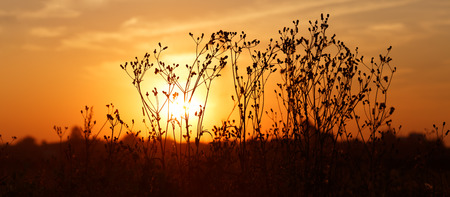 champ de fleurs: Silhouettes of dry weeds on the background of a golden sunset. Panoramic shot. Shallow depth of field. Selective focus. Banque d'images
