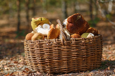 basketful: Basket of mushrooms in autumn forest. Selective focus.