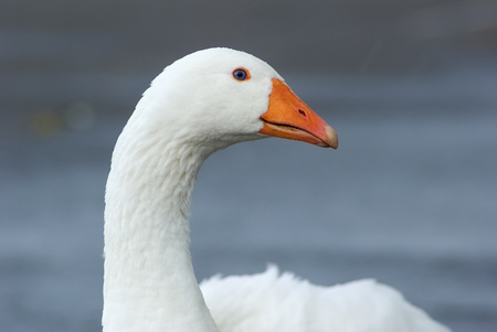 Close-up portrait of a white goose in a countryside. Selective focus Standard-Bild