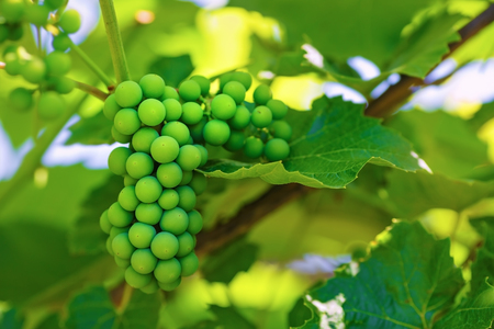 unripened: Unripened green grape on a blurred background of green foliage in vineyard. Shallow depth of field. Selective focus.