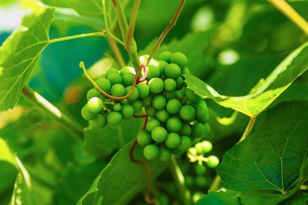 unripened: Bunch of unripened green grapes on a blurred background of green foliage. Shallow depth of field. Selective focus.