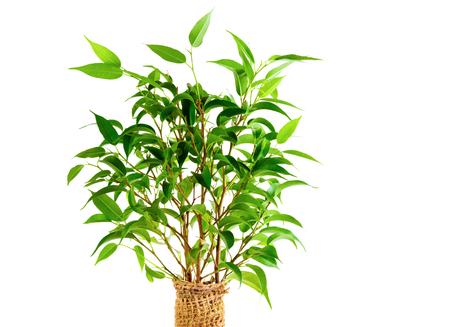 Close-up van verse groene bladeren van een kamerplant. Waringin. Geïsoleerd op een witte achtergrond. Stockfoto