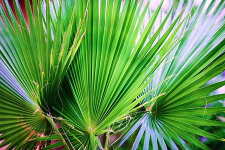 Primer plano de hojas de palma verde. Hojas de palma de fondo. Poca profundidad de campo. Enfoque selectivo Foto de archivo - 51585520
