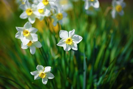 咲くスイセン。白い水仙の花を春に開花。春の花。フィールドの浅い深さ。選択と集中。