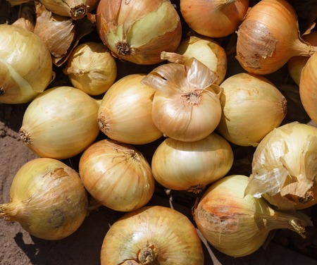 onion: Close-up of fresh yellow onions harvested crop. Onions background.