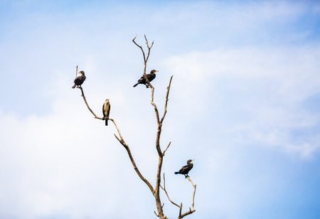 carbo: Great black cormorants sitting on a dry tree against the blue sky. Phalacrocorax carbo. Water birds on the tree. Stock Photo