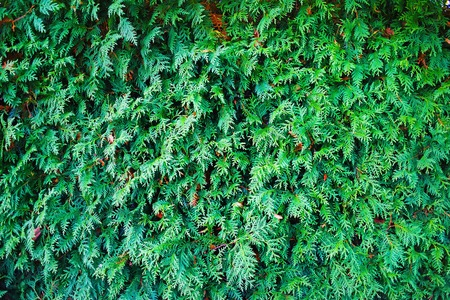 bushy plant: Thuja texture. Green thuja tree branches and leaves as natural background. Stock Photo