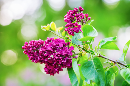 Blooming bright purple lilac. Beautiful lilac flowers in the garden. Shallow depth of field. Selective focus. Stock Photo
