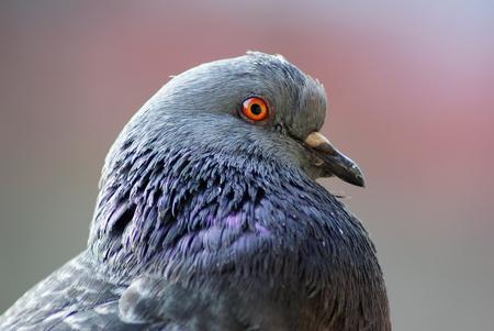 profile: Closeup of beautiful pigeon head and neck. Urban dove. Selective focus.