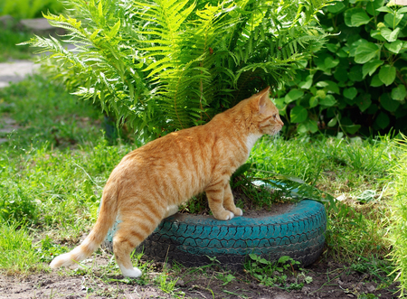 Ginger tabby cat cat plays in green ferns Stock Photo
