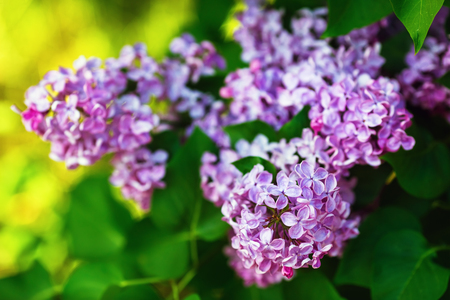 Blooming purple lilac flowers in the garden. Shallow depth of field. Selective focus. Stock Photo