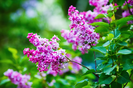 Purple blossoming lilac flowers and green leaves in the garden. Blooming lilac. Shallow depth of field. Selective focus.