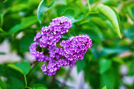 Blooming lilacs on green leaves background. Spring flowers. Shallow depth of field. Selective focus.