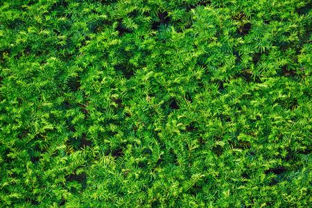Close-up fragment of a coniferous green hedge.
