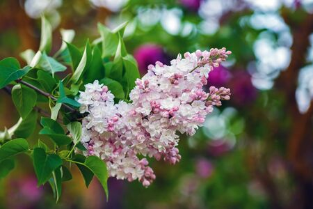 Branch of pink lilac flowers with green leaves. Selective focus.