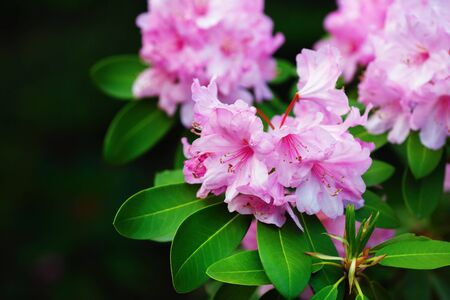 Pink rhododendron flowers with green leaves. Rhododendron hybridum. Ericaceae Juss. Selective focus.