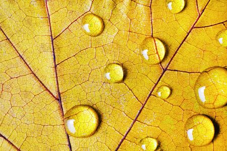 Yellow autum leaf with drops of water. Macro photography. Flat lay.