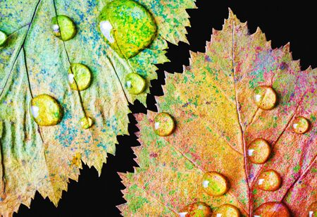 Two bright colorful autumn leaves with water drops on black background. Macro photography. Flat lay.