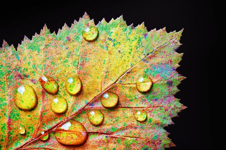 Colorful autumn leaf with drops of water on black background. Macro photography. Flat lay. 스톡 콘텐츠