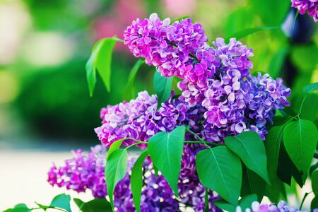 Spring lilac flowers. Lilac blooms in the garden. Shallow depth of field. Selective focus.
