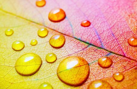 Macro photography of bright autumn leaf with water droplets. Shallow depth of field. Selective focus.