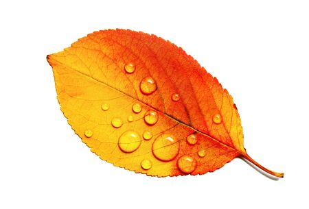 Beautiful bright autumn leaf with water droplets isolated on white background. Macro photography. Flat lay.
