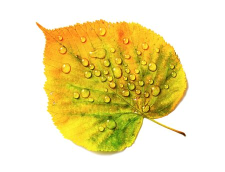 Autumn leaf with water drops isolated on white background. Flat lay.
