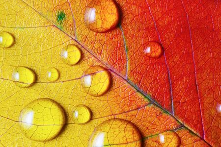 Bright red-yellow autumn leaf with water droplets. Macro photography. Flat lay. 스톡 콘텐츠